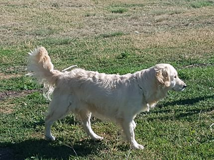 Golden Retriever purebred | Dogs & Puppies | Gumtree Australia Gungahlin Area - Sutton | 1172948277