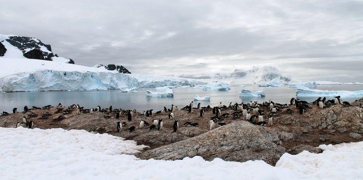 Penguins on #Cuverville island, #Antarctica