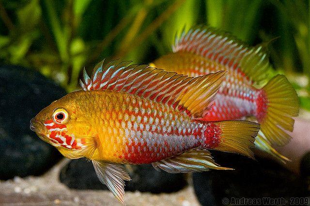 "Apistogramma hongsloi ""super red"" - ~3.5"" line bred color variation of a dwarf cichlid originally from Columbia/Venezuela"