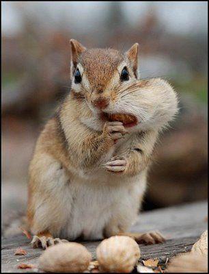 Als eekhoorn heb je het een stuk makkelijker als vele andere diersoorten als je naar de supermarkt gaat: je hebt een ingebouwde boodschappentas bij je