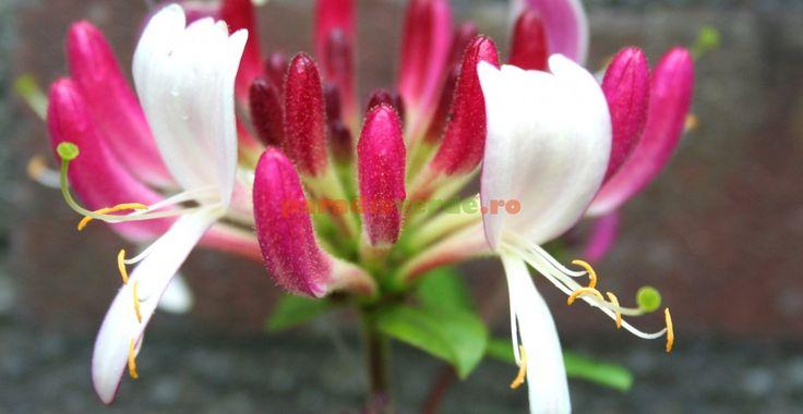 Caprifoiul: flori frumoase, parfumate și de leac | Paradis Verde