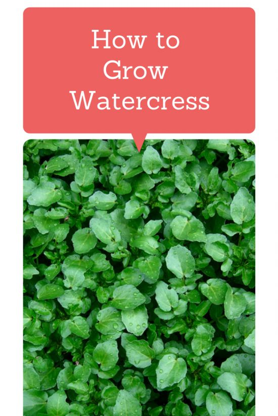 How To Grow Watercress - This plant has more vitamin C than oranges, more iron than spinach and more calcium than milk!