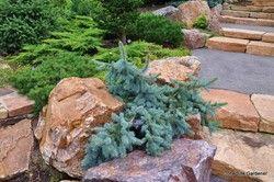 Picea pungens 'Glauca Prostrata' - Hess Landscape Nursery - Finleyville, Pennsylvania