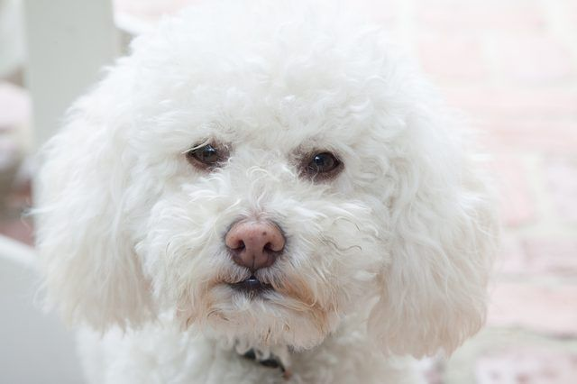 how to get rid of tear stains on maltese