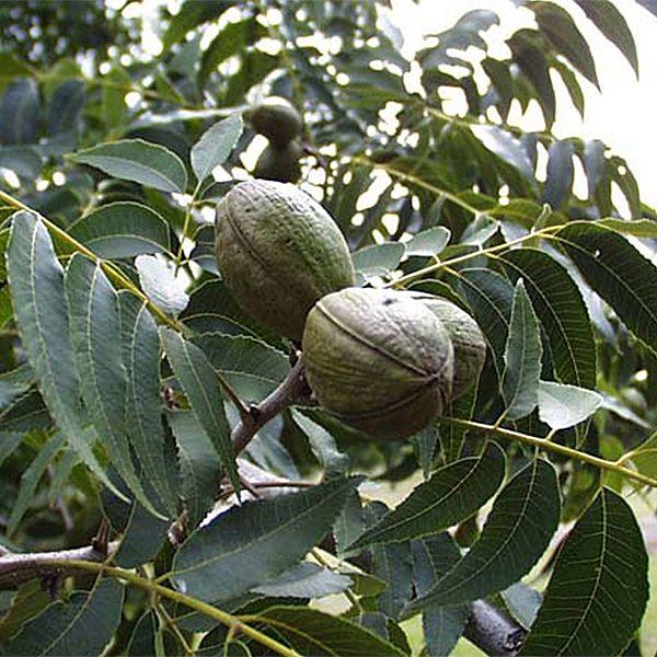 Bare Root Hardy Pecan (Carya illinoinensis)