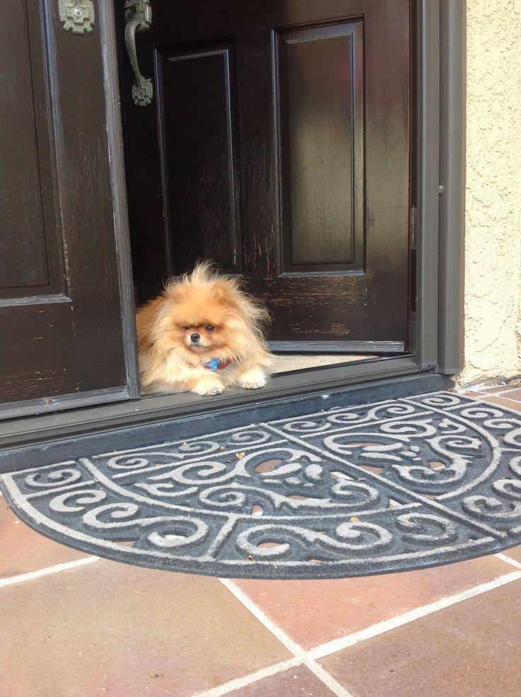 Best Pomeranian Brown Adorable Dog - 20bc93e779833c74e28d5b3cea2ef911--pomeranian-dogs-pomeranians  HD_743148  .jpg