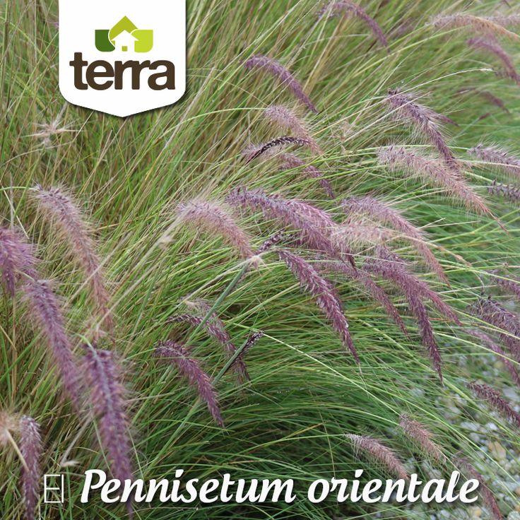 Es ideal para follajes y combinar con otras plantas para generar diferentes texturas. Son de bajo mantenimiento y aportan movimiento, frescura y naturalidad a los jardines.