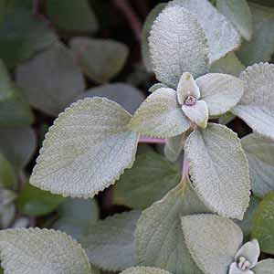 Plants with Silver Foliage or Leaves are a great addition to the garden and useful in landscape design, we list of some of the best Silver Foliage Plants.