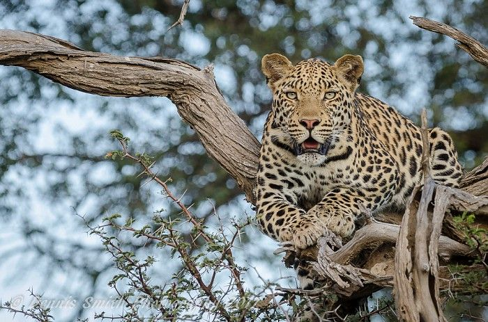 Young male leopard at Kwetsani #OkavangoDelta