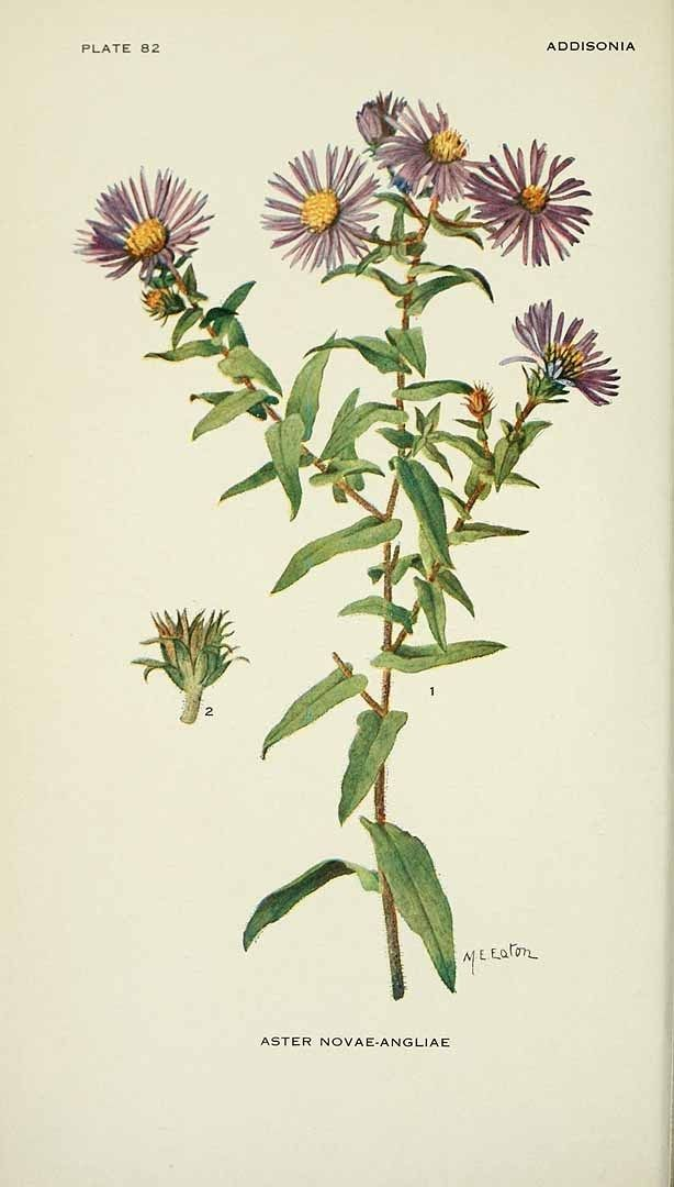 3 Late Summer Herbs And How To Use Them With Images Herbalism Medicinal Plants Botanical Illustration