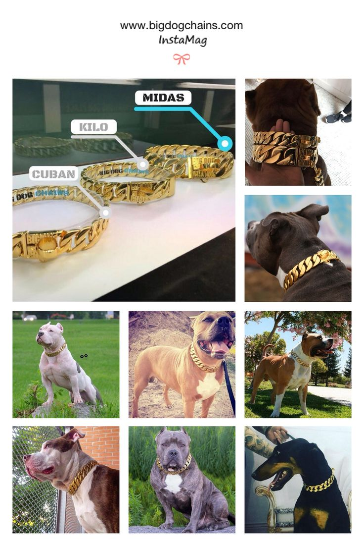 Gold dog collars for large dog that are high quality. Big Dog Chains stainless steel and gold finish creates a strong collar that looks great on your large dog.