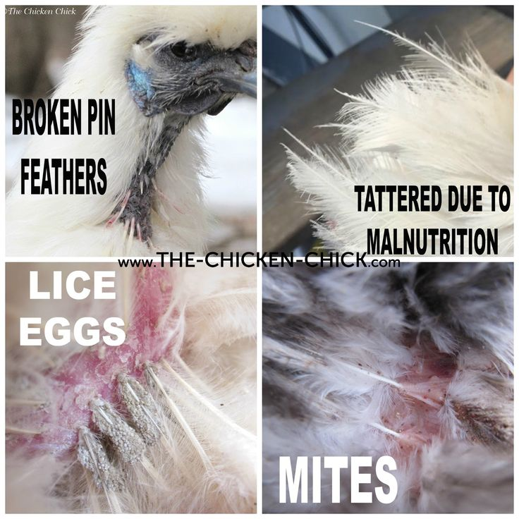 A chicken's feathers should be shiny & lay flat against the body. They should not be broken, ruffled, bloody, frayed or tattered, which could indicate behavioral problems in the flock, stress, parasites, a nutrition deficit or rodent problems. Know what molting looks like and the age and season to expect it as well as what pin feathers look like. Frizzle feathered breeds are an exception to the flat feather rule.
