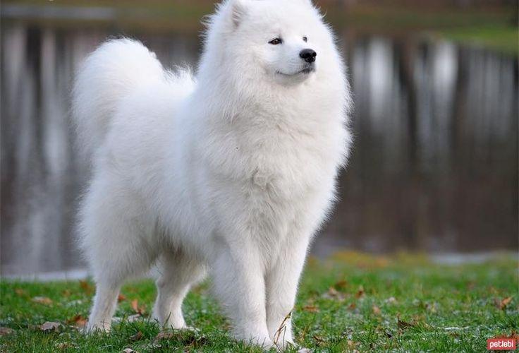 Samoyed Köpek Cinsi Hakkında Bilgi | Hayvan Kolik