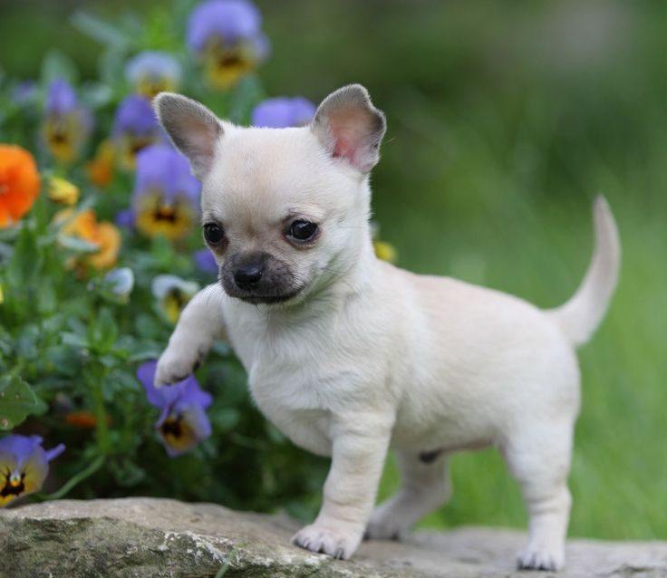 Aggressive Small Dog Breeds - faun-chihuahua-puppies