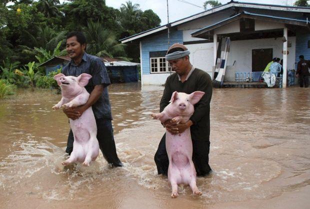 Thai farmers save their bacon - EPA
