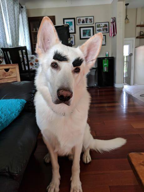 I gave my dog eyebrows