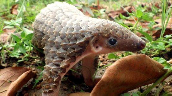 Un bébé pangolin gambade librement dans la nature