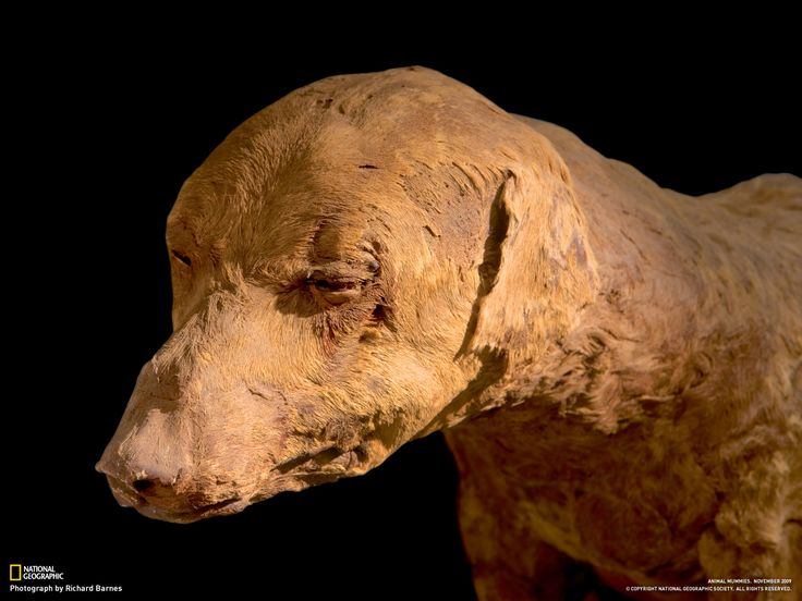 Lovingly preserved, a hunting dog whose bandages fell off long ago likely belonged to a pharaoh. When it died, it was interred in a specially prepared tomb in the Valley of the Kings. From the Egyptian Museum.