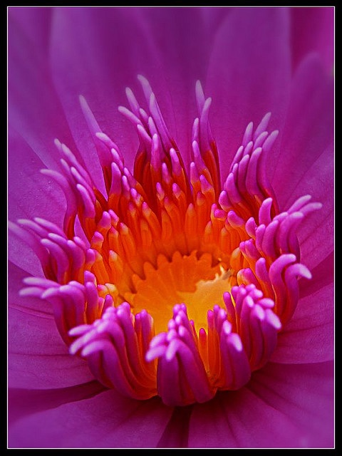 Water Lily [Nymphaea]. Nymphaea is a genus of hardy and tender aquatic plants in the family Nymphaeaceae.