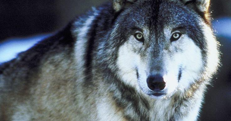 Cómo hacer maquillaje de lobo. Crear una cara de lobo con un maquillaje le da unos toques finales a un traje de lobo. Las técnicas de maquillaje de lobo son fáciles de aprender, incluso si no tienes inclinaciones artísticas. Para lograr el aspecto lupino, todo lo que necesitas es algunos suministros de tu tienda local de Halloween y una mano firme. En poco tiempo, serás capaz ...