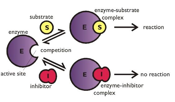 Competitive inhibition.