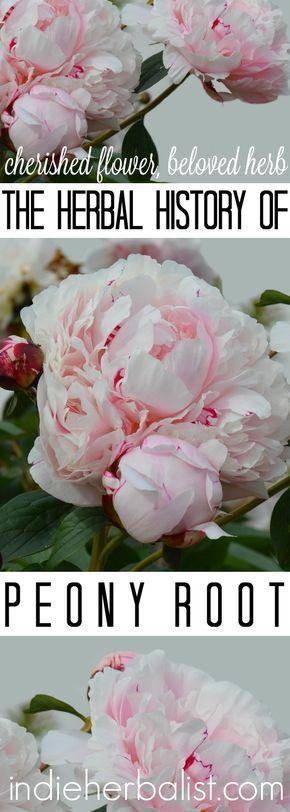 Peony - cherish flower, powerful root