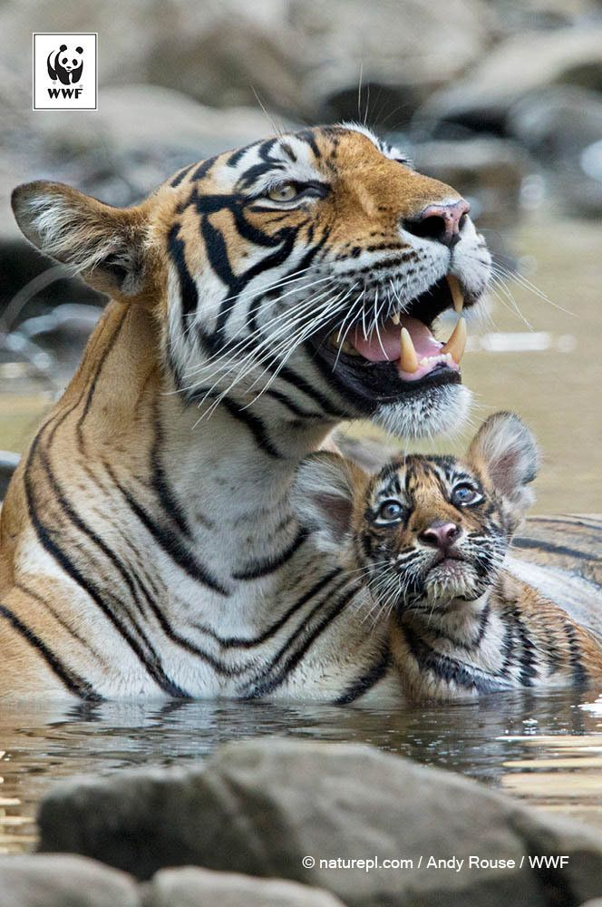 endangered species: bengal tiger essay Most especially the tigers the tiger is the largest of all big cats,  the familiar bengal, the  endangered species  cause effect essay endangered.