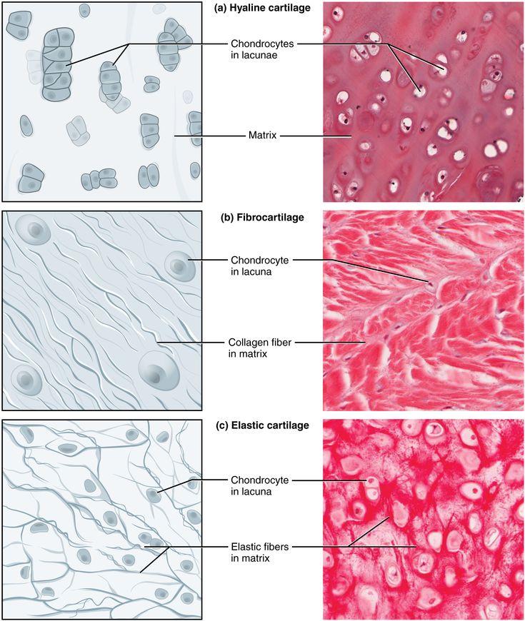Connective tissue - Cartilage