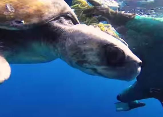 SO TOUCHING!!!!!  Diver saves a turtle's life and is repaid the kindness.....The World Wildlife Fund says fishing gear is the greatest threat to endangered sea turtles like loggerheads, green turtles and leather backs.