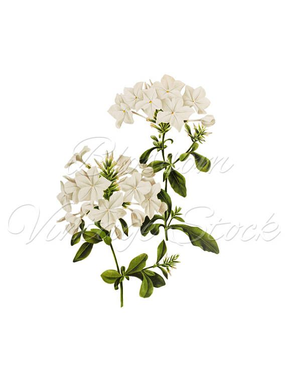 White Flower Print Wall Art Botanical Clipart Png Vintage Ilration