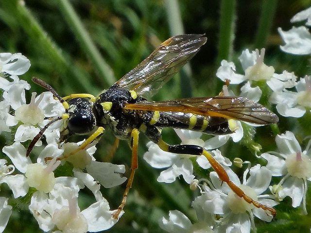 Sparkling Umbellously. Tenthredo thompsoni, Sawfly, on Common Hogweed, Heracleum sphondylium, Lomm-Straelen, The Netherlands-Germany | par Rana Pipiens
