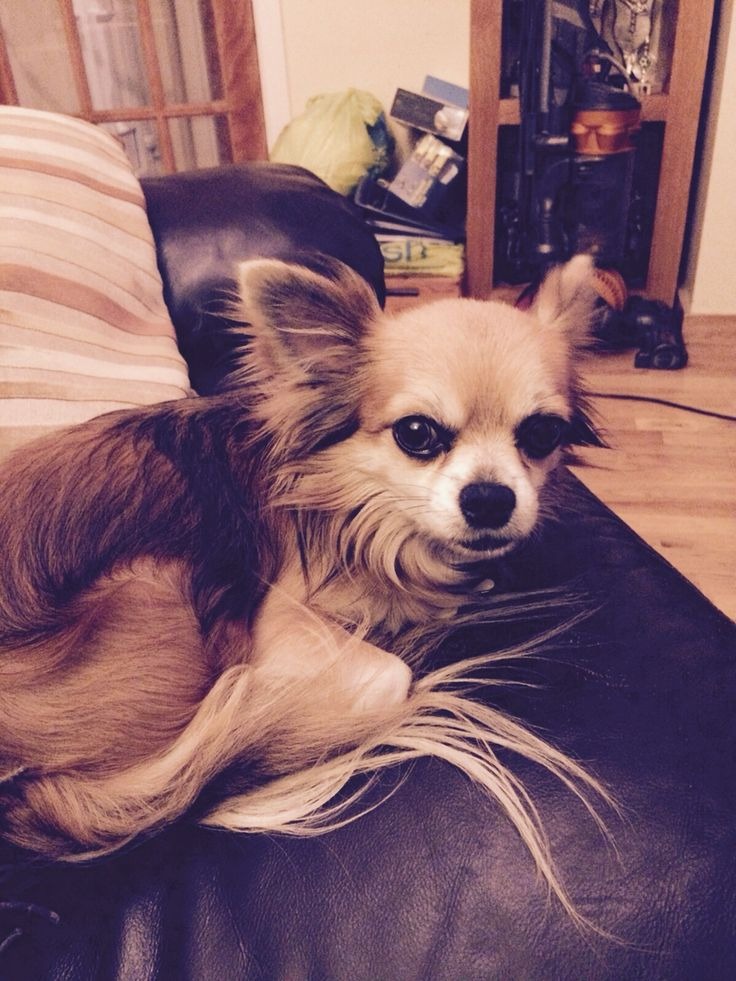 Alfie relaxes Chihuahua, Dog blog