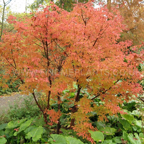 1000 images about outdoor makeover on pinterest sun for Maple trees for small gardens