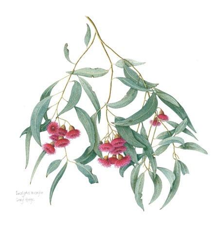 Eucalyptus leucoxylon, Australian native, in watercolour