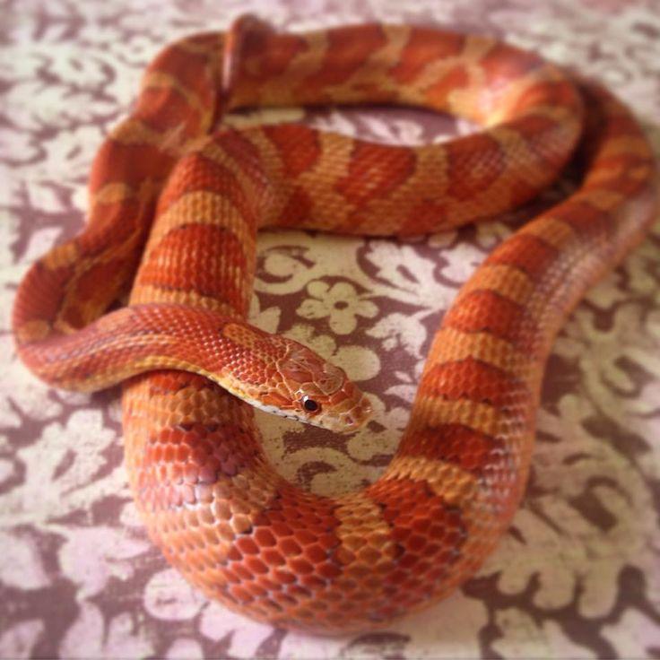 classic corn snake - photo #21