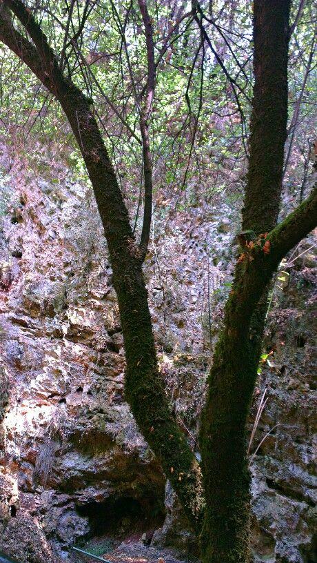 #Trees at the gate of #Drogarati #Cave, #Kefalonia, #IonianIslands