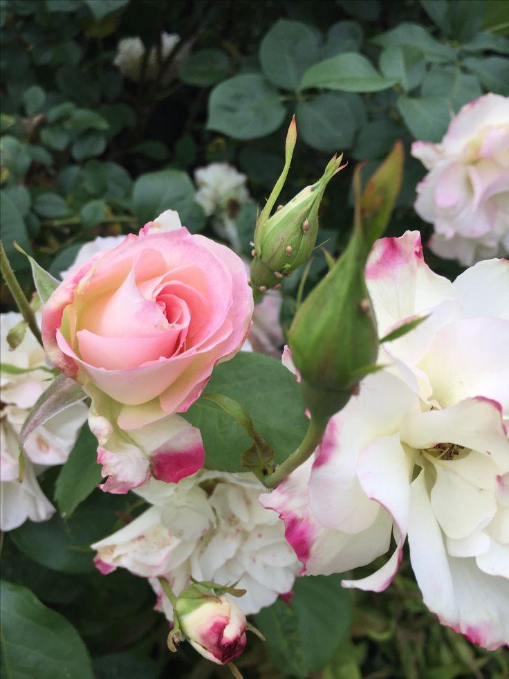 Rose -  Seduction