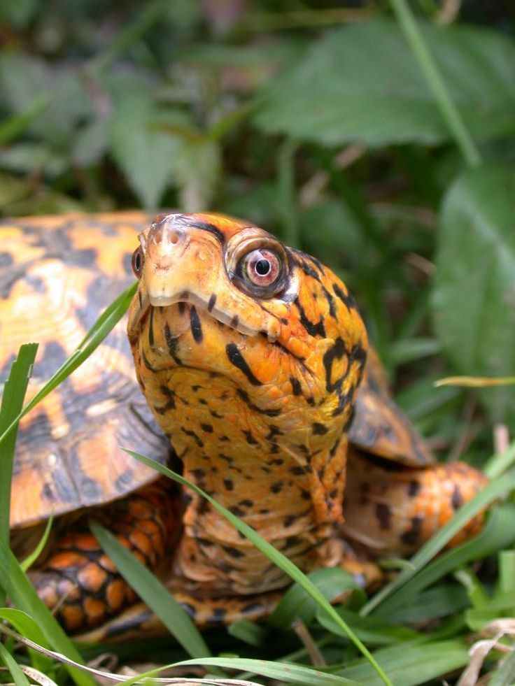 how to tell the sex of an ornate box turtle