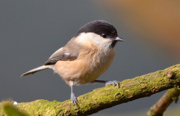 The Early Birder: Willow Tit (not Tit Willow) - but can you tell it from a Marsh Tit? #AnimalTales