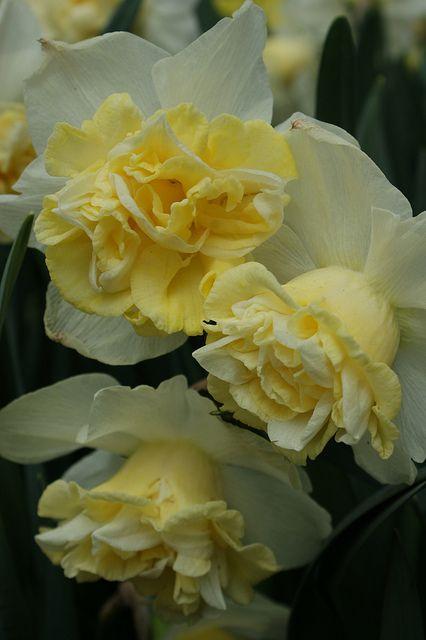Narcissus Popeye, Keukenhof, The Netherlands.  Photo: KarlGercens.com, via Flickr