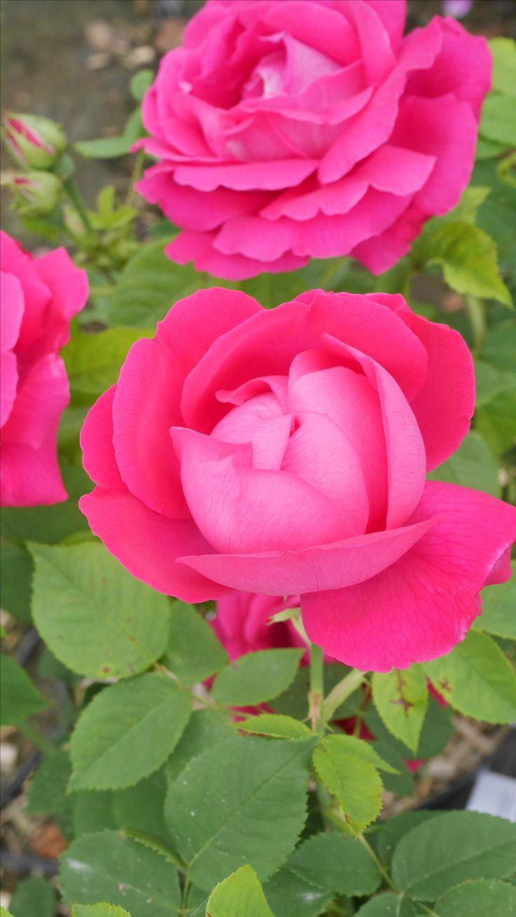 Les 20 meilleures id es de la cat gorie fleurs sombres sur pinterest mariages roses sombres - Bouturer un rosier ancien ...