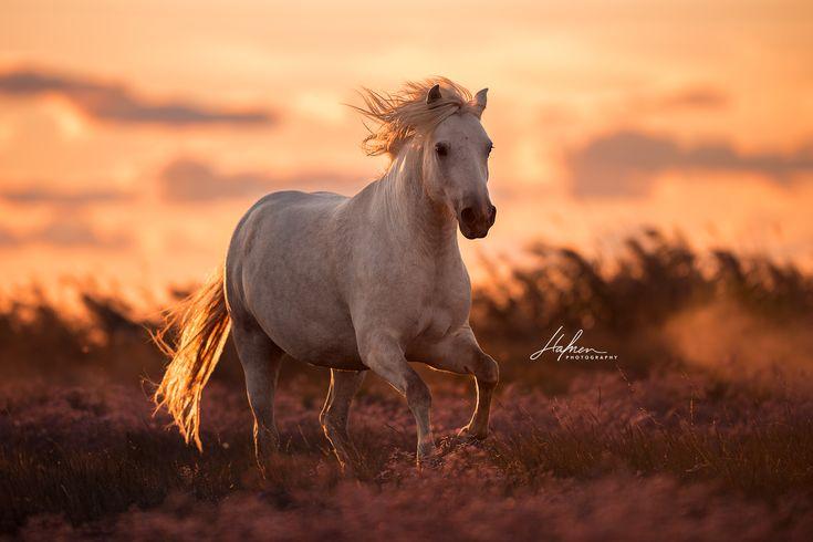 Camargue Hengst galoppiert im Sonnenuntergang über die Wiese | Schimmel | Pferd | Bilder | Foto | Fotografie | Fotoshooting | Pferdefotografie | Pfer…