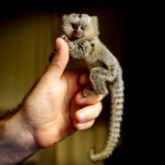 Marmoset-one of the smallest primate species! seriously...how adorable is this little finger monkey
