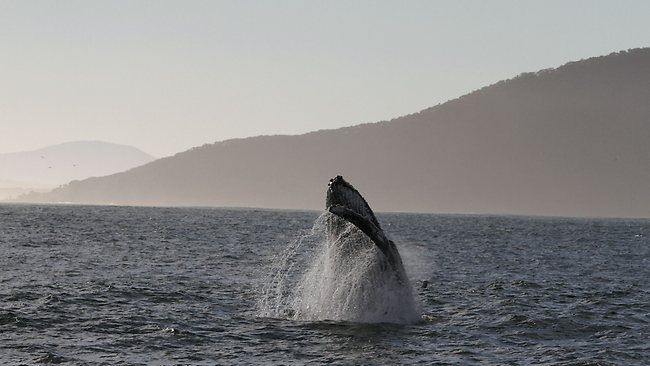 Whale frollicking off Port Stephens. Picture: Richard McCormack.