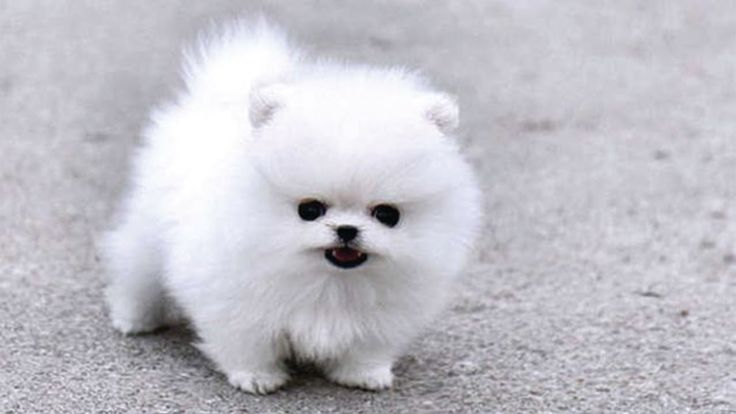 Fluffy puppy playing with hypo toy spitz welpen teacup