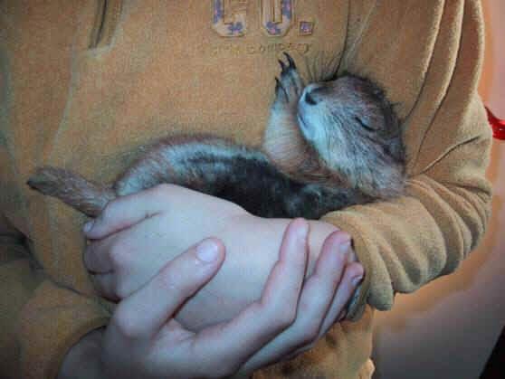 Chien de prairie - Le chien de prairie ou cynomys social Jerry de Carine Cattelion Les chiens de prairie sont des rongeurs qui appartiennent à la famille des Sciuridés (écureuils) et vivent principalement à l'ouest de Amérique. Ils sont, en ce qui concerne leur …