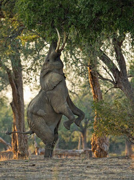 A Fine Balance by Morkel Erasmus: Africans Elephants, Fine Balance, Wildlife, Trees, National Parks, Morkel Erasmus, Pools, Branches, Animal