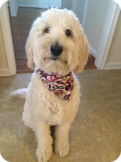 Baltimore, MD - Labradoodle Mix. Meet Riley (COURTESY POST), a dog for adoption. http://www.adoptapet.com/pet/16928913-baltimore-maryland-labradoodle-mix