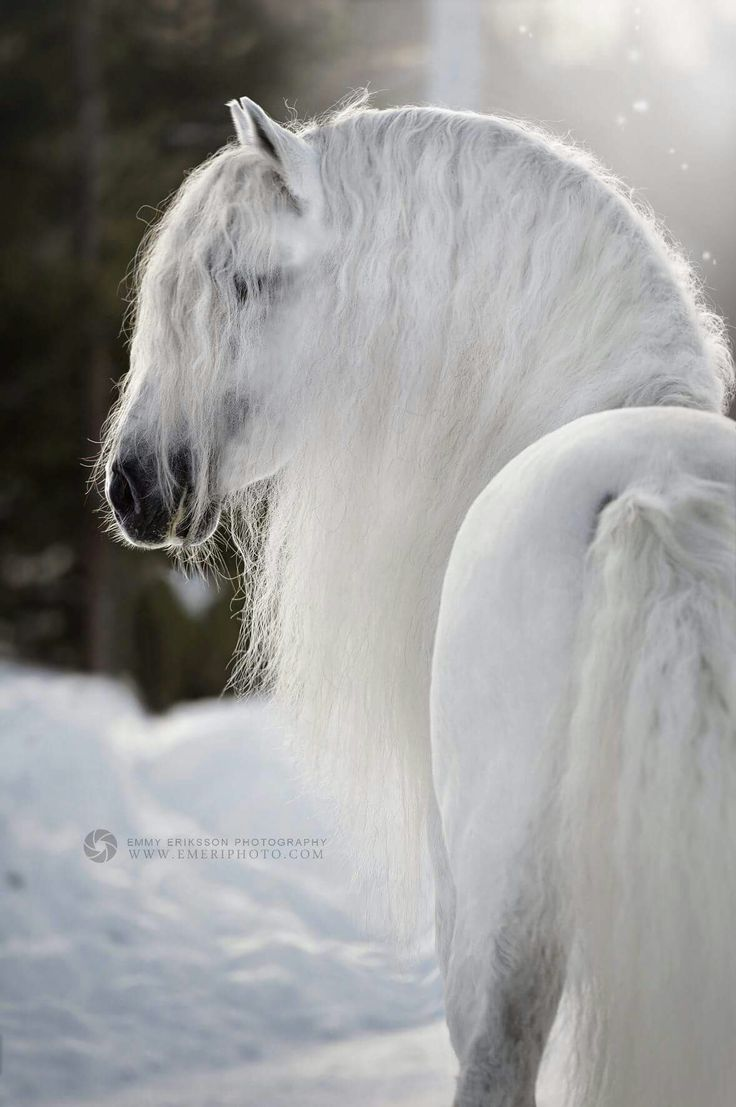 Enchanting beautiful white grey horse glowing in the snow with gorgeous soft long flowing mane. Such beauty!