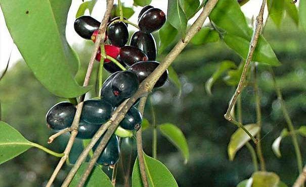 Uma pesquisa realizada pela Universidade Estadual de Campinas (Unicamp) mostrou que o pigmento do jamelão (Eugenia jambolana) – também conhecido como jambolão e azeitona – pode destruir células cancerosas.
